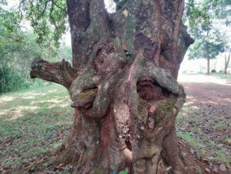 Photo of holy tree which has visible 'female and male sexual organs and reportedly mends marriages'